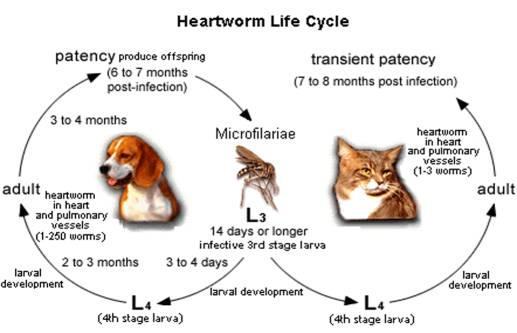 Heartworm Testing and Prevention in Toronto